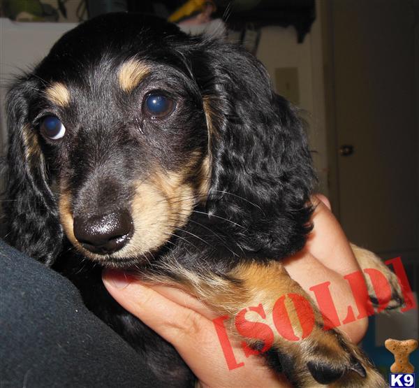 Brown Dachshund Puppy Credited