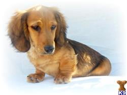 dachshund puppy posted by iluvdogz
