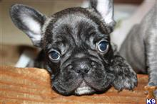 french bulldog puppy posted by iosuna