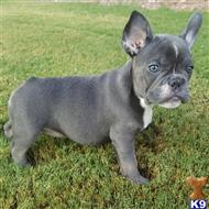 french bulldog puppy posted by irenewilliams