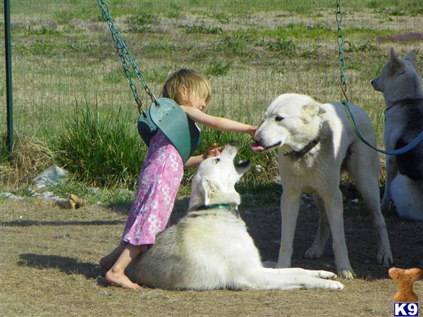 Alaskas List  Alaska Dogs For Sale