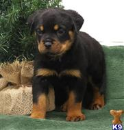rottweiler puppy posted by isaac578
