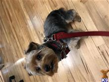 Yorkshire Terrier Stud Dogs