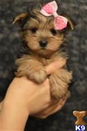 yorkshire terrier puppy posted by iwantthatpuppy
