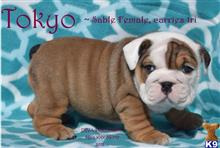 bulldog puppy posted by j3nni54