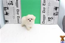 maltese puppy posted by jackiethebreeder