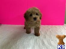 maltipoo puppy posted by jackiethebreeder
