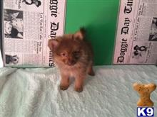 pomeranian puppy posted by jackiethebreeder