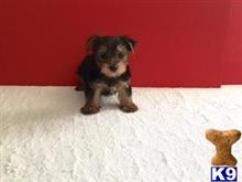 yorkshire terrier puppy posted by jackiethebreeder