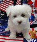 coton de tulear puppy posted by jacokennel
