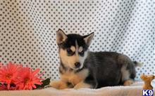 siberian husky puppy posted by jadaadam60