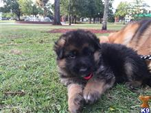 german shepherd puppy posted by jaelyn2001