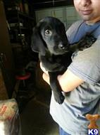 labrador retriever puppy posted by jajbcmom