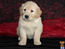 golden retriever puppy posted by jameswiner30