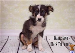 australian shepherd puppy posted by jamie8840