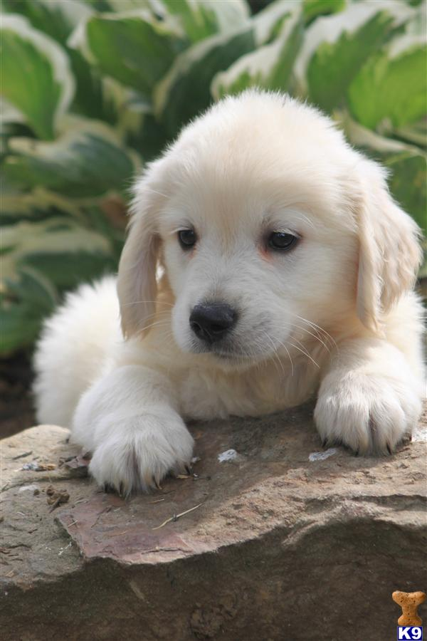 Golden Retriever Dogs For Sale In Ohio - www.proteckmachinery.com