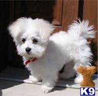 maltese puppy posted by janepablo