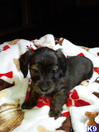 dachshund puppy posted by jazzy pups