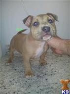 american pit bull puppy posted by jbssmoke