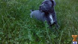 american pit bull puppy posted by jcd1989
