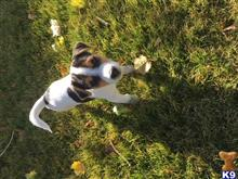 jack russell terrier puppy posted by jdnctn