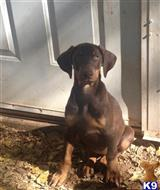 doberman pinscher puppy posted by jdocsdobies