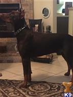 doberman pinscher puppy posted by jdtireservice