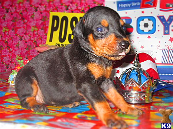 READY FOR PICKUP FRIDAY AUGUST 22ND  THROUGH SUNDAY AUGUST 24TH ....  LOCATED RIGHT BY   I-75 EXIT 41  IN LONDON , KENTUCKY  DOBERMAN PINSCHER PUPPIES ALL COLORS ONLY $750.00 EACH  606-878-6395 OR EMAIL  jehenson46@yahoo.com