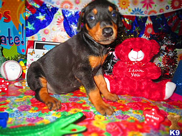 READY FOR PICKUP FRIDAY  AUGUST 22ND THROUGH SUNDAY AUGUST 24TH...  I-75  AT LONDON , KENTUCKY   DOBERMAN PINSCHER PUPPIES ALL COLORS  ONLY $750.00 EACH /  606-878-6395 OR EMAIL jehenson46@yahoo.com