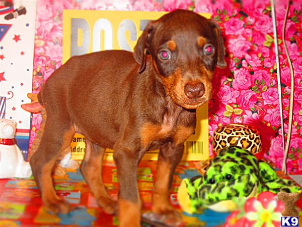 READY FOR PICKUP  FRIDAY AUGUST 22ND TROUGH SUNDAY AUGUST 24TH.......DOBERMAN PINSCHER PUPPIES  RIGHT BY  I-75 IN LONDON , KENTUCKY /  FREE ESCORT / EMAIL jehenson46@yahoo.com OR 606-878-6395..