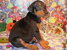 doberman pinscher puppy posted by jeh20082008
