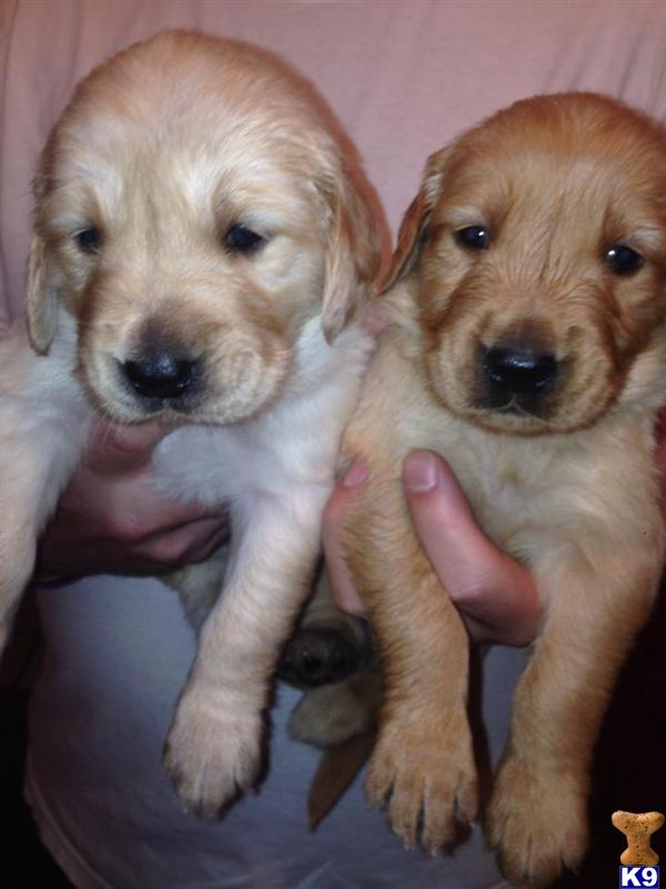 golden retriever puppy posted by jendmills1313