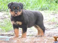 rottweiler puppy posted by jengeor