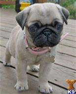 pug puppy posted by jenkins001