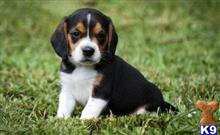 beagle puppy posted by jennyfatur4