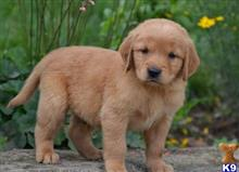 golden retriever puppy posted by jennyfatur4