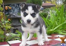 siberian husky puppy posted by jerrymax6762
