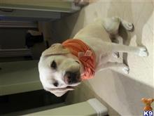 Labrador Retriever Stud Dogs in California