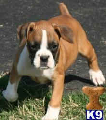boxer puppies boxer puppies 220x248