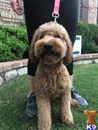 Goldendoodles Stud Dogs in Texas
