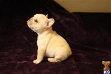 french bulldog puppy posted by jgilliam