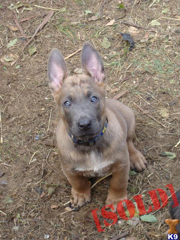 Police Dutch Shepherds Sale