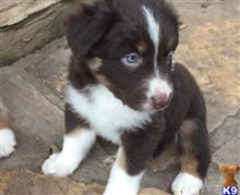 australian shepherd puppy posted by jimw4502