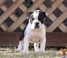 old english bulldog puppy posted by jl2545