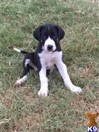 great dane puppy posted by jlester