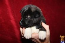 akita puppy posted by jlt1202