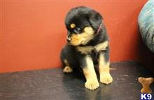 rottweiler puppy posted by johhwiner30