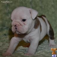 english bulldog puppy posted by johncruse