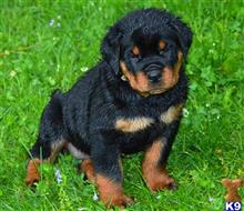 rottweiler puppy posted by johnrode