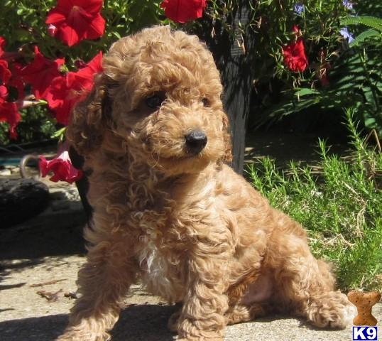 The gallery for --> Teacup Labradoodle Full Grown